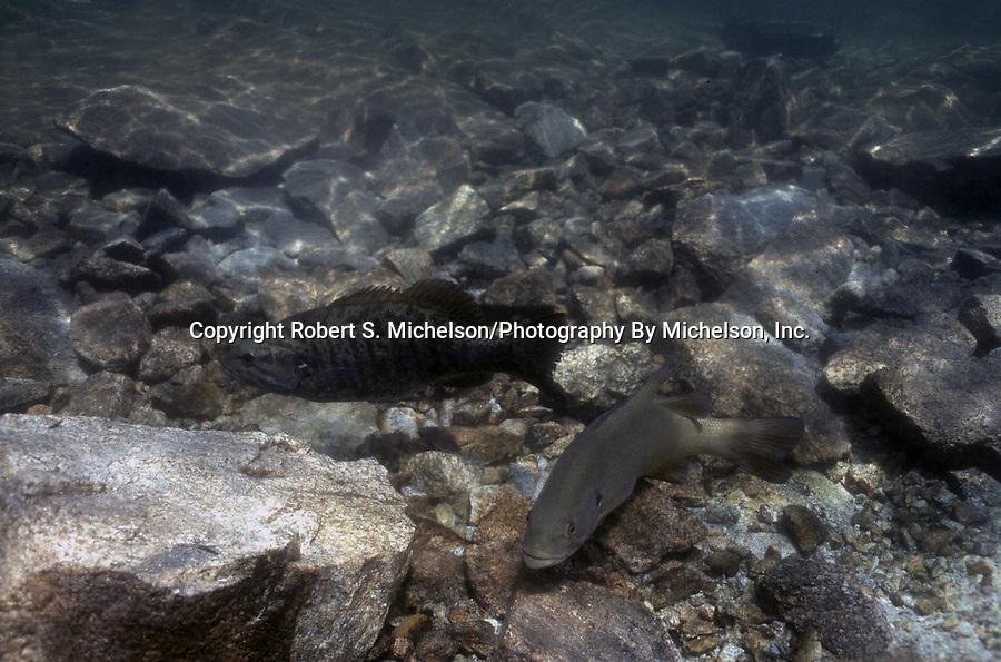 Smallmouth Bass spawning, Lake Winnipesaukee, NH