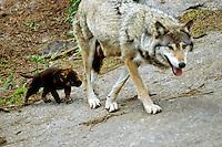 Wolf (Canis lupus), moeder met  jong