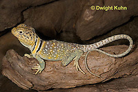 1R17-549z  Collared Lizard, Male, Crotaphytus collaris