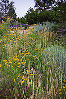 Wheat grass (Agropyron or Pascopyrum smithii) in Colorado meadow garden with yellow flower Mexican Hat (Ratibida columnifera), Panicum virgatum 'Shenandoah'  and Chamisa; design by Tom Peace