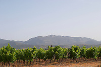 Montpeyroux. Languedoc. France. Europe. Vineyard. Mountains in the background. Mont Saint Baudille.