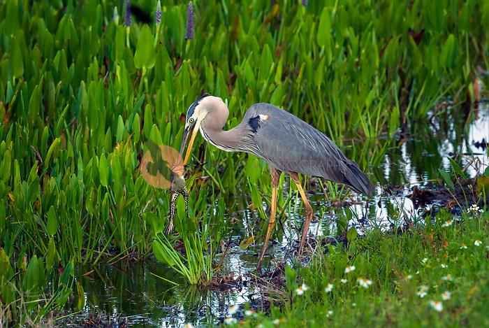 Great Blue Heron catching frog, frog's front leg is in Heron's beak