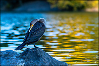 A sleeping cormorant in Central Park by the lake.
