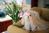 """Korea. South Korea. Seoul.  Beauty pet shop """"Lonely house"""". Pedigree dog.  Lapdog wearing a wedding outfit.                                                            Dog  is perceived as friendly companionship.  © 2002 Didier Ruef"""