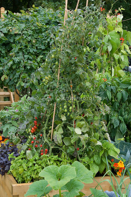 Vegetable garden cherry tomatoes staked on teepees, basil, herbs, runner beans, squash, peppers, nasturtiums, flowers in raised beds, tomato support, grape tomatoes
