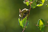 Female lesser goldfinch, Carduelis psaltria. Santa Cruz Mountains, California