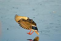 MALLARD DUCK (Anas Platyrhynchos) hen landing.  Pacific Northwest.  Winter.
