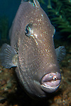 Gray Triggerfish looking at camera, vertical
