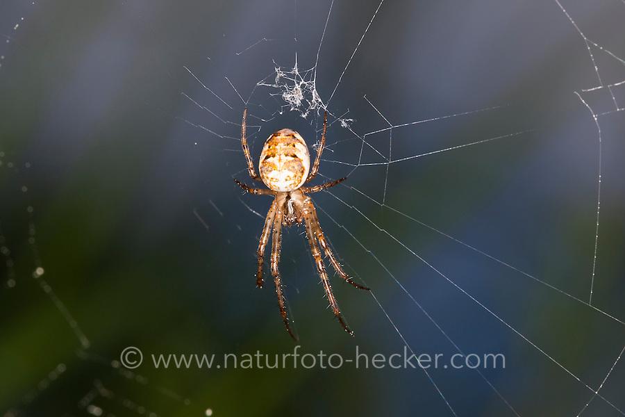 Herbstspinne, lauert im Netz, Herbst-Spinne, Metellina spec., Meta spec., Metellina mengei oder Metellina segmentata, Meta mengei oder Meta segmentata, Autumn spider, Autumn-spider, Lesser Garden Spider