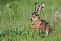 Brown Hare, Lepus europaeus, adult in meadow eating, National Park Lake Neusiedl, Burgenland, Austria, April 2007