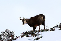 Chamois buck standing in the snow next to alpine roses