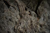 Ancient olive tree. Yata, West Bank, Palestine, May 2013.