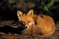 Red Fox..Autumn. Rocky Mountains..(Vulpes vulpes).