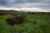Winter brings green grasses but bare shrubs to the coastal prairie terrace ecosystem of the Ano Nuevo State Reserve on California's Central Coast.