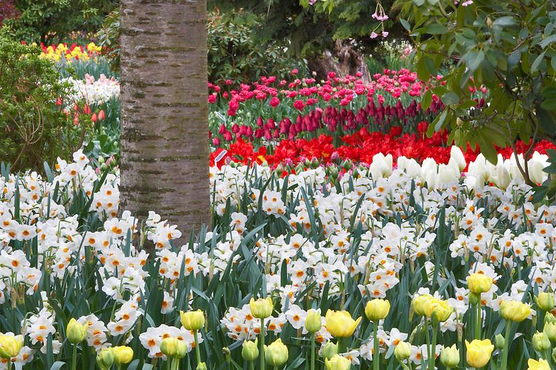 Dafodil and tulip beds.  Roozengaarde display garden. Mt. Vernon. Washington