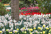 Dafodil and tulip beds.  Roozengaarde display garden. Mt. Vernon. Washington