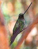 Male sword-billed hummingbird