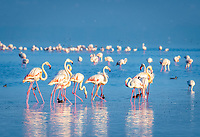 greater flamingo, Phoenicopterus roseus, feeding, Lake Nakuru, Lake Nakuru National Park, Rift Valley, Kenya, Africa