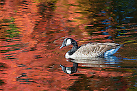 wild goose swimming in a pond with fall color reflection