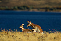 Pronghorn (Antilocapra americana) mating.  Western U.S., fall.