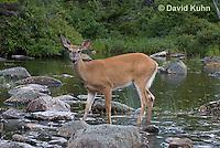 0623-1011  Northern (Woodland) White-tailed Deer, Odocoileus virginianus borealis  © David Kuhn/Dwight Kuhn Photography