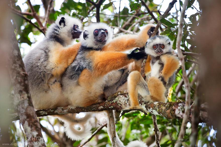 Diademed sifaka {Propithecus diadema diadema} group with baby in rainforest. Andasibe-Mantadia National Park, Eastern Madagascar. IUCN Endangered Species.