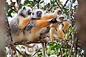 Diademed sifaka {Propithecus diadema diadema} group with baby in rainforest. Andasibe-Mantadia National Park, Eastern Madagascar. IUCN Endangered Species.
