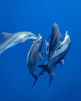 Indo-Pacific bottlenose dolphin, Tursiops aduncus, playing with pufferfish, Chichi-jima, Bonin Islands, Ogasawara Islands, Japan, Pacific Ocean