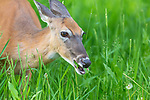 White-tailed doe feeding in a summer meadow.