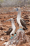 North Seymour Island, Galapagos, Ecuador; a male/female pair of Blue-footed Booby (Sula nebouxii) birds performing their mating ritual, the male has a smaller pupil, slightly lighter blue feet and is smaller in size than the female , Copyright © Matthew Meier, matthewmeierphoto.com All Rights Reserved