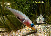 1S53-505z Threespine Stickleback, male showing gravid female the entrance to his nest, Gasterosteus aculeatus