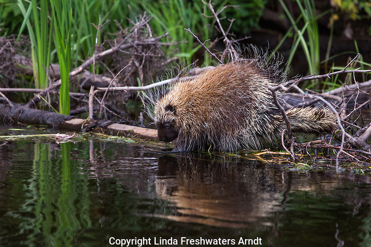 North American Porcupine on the Flambeau River