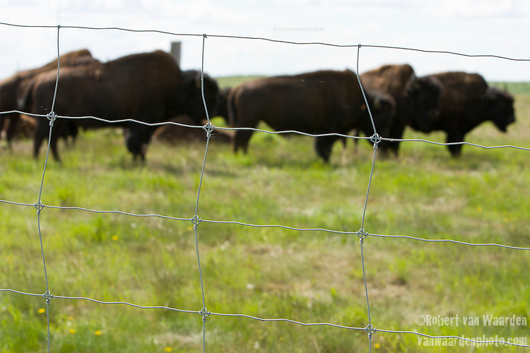 A symbol of a noble past, buffalo are held behind a fence for tourists visiting the Syncrude processing plant.