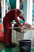 Fisherman filleting Halibut on ship trawl deck Hippoglossus hippoglossus.<br />