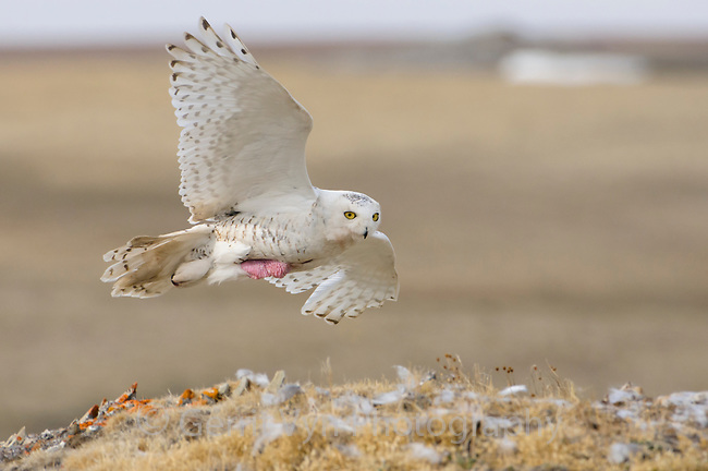 Female Snowy Owl (Bubo scandiacus) returning to nest in flight. The brood patch, an area of bare skin used to warm eggs and chicks, is clearly visible. Bathurst Island, Nunavut, Canada. June.