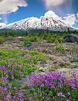 Penstemon at Lahar with Mt St Helens in Mt St. Helens National Volcanic Monument Washington