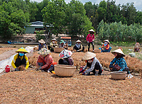 Women sorting out Onion seeds for the next season, near Bac Lieu, Mekong Delta, Vietnam.