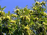 Italien, Umbrien, Esskastanien | Italy, Umbria, chestnuts