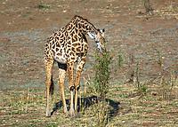 Baby giraffe tree browsing in South Luangwa Valley, Zambia Africa.