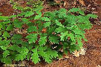 TT18-023f  Oak - young tree - Quercus spp.