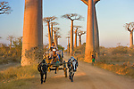 Large cows known as zebus pull a cart past iconic baobab trees in rural Madagascar, where they are the most common form of transportation. Madagascar's climate also suits the baobab tree, which stores water in order to survive the long, dry season that dominates the year.