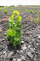 Soil detail. Slate. Vineyard. The black soil. Called Terres Brulees, burnt soil. Syrah. Domaine Piquemal, Espira de l'Agly, Roussillon, France