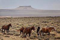 A band of wild horses stand together on top of the White Mountain near Green River, Wyoming.