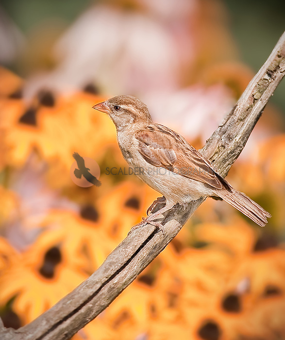 Field Sparrow perched on limb in front of yellow flowers