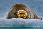 Bearded Seal, Arctic National Wildlife Refuge, Alaska
