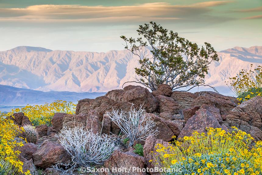 Larrea tridentata, Creosote Bush, crowning a rock outcrop view in the creosote bush scrub habitat of Sonoran Desert and Santa Rosa Mountains