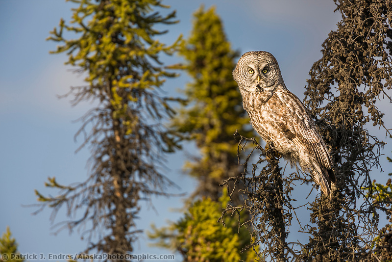 Great Grey owl in black spruce trees, southcentral, Alaska.