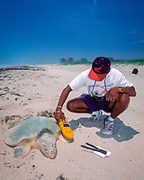 biologist uses microwave scanner to read P.I.T. tag (rice-grain-sized internal tag that emits i.d. # when scanned) on Kemp's ridley sea turtle, Lepidochelys kempii, Rancho Nuevo, Mexico, Gulf of Mexico, Atlantic Ocean