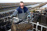 Foto: VidiPhoto<br /> <br /> YERSEKE – Oesterkweker Adriaan van der Plasse van Delta Ostrea uit Yerseke aan het werk met zijn medewerkers op een oesterperceel in de Oosterschelde. Het kweken in hangende kunststof manden op zogenoemde 'tafels' is relatief nieuw en een groot succes. De oesters hangen daar veilig tegen de zogenoemde oesterboorder en de kwaliteit is een stuk beter dan bij de bodemcultuur. Bovendien wordt bij Delta Ostrea gebruik gemaakt van triploïde oesters uit Franse kweekhuizen. Deze kunnen ook in de zomer gegeten worden. Oesters zijn daarnaast enorm gezond. Niet alleen bevatten ze zink en magnesium, goed voor de stofwisseling, maar ook weinig calorieën en veel vitamine D. Volgens hoogleraren immunologie, wetenschappers en doktoren bevordert dat niet alleen de weerstand tegen corona, maar zorgt het ook voor een milder ziekteverloop.