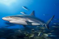 Caribbean reef shark (Carcharhinus perezii), slow shutter speed, Bahamas, Caribbean, Atlantic